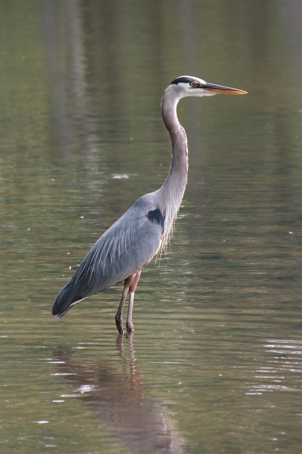 Great Blue Heron by MercenaryEnclave