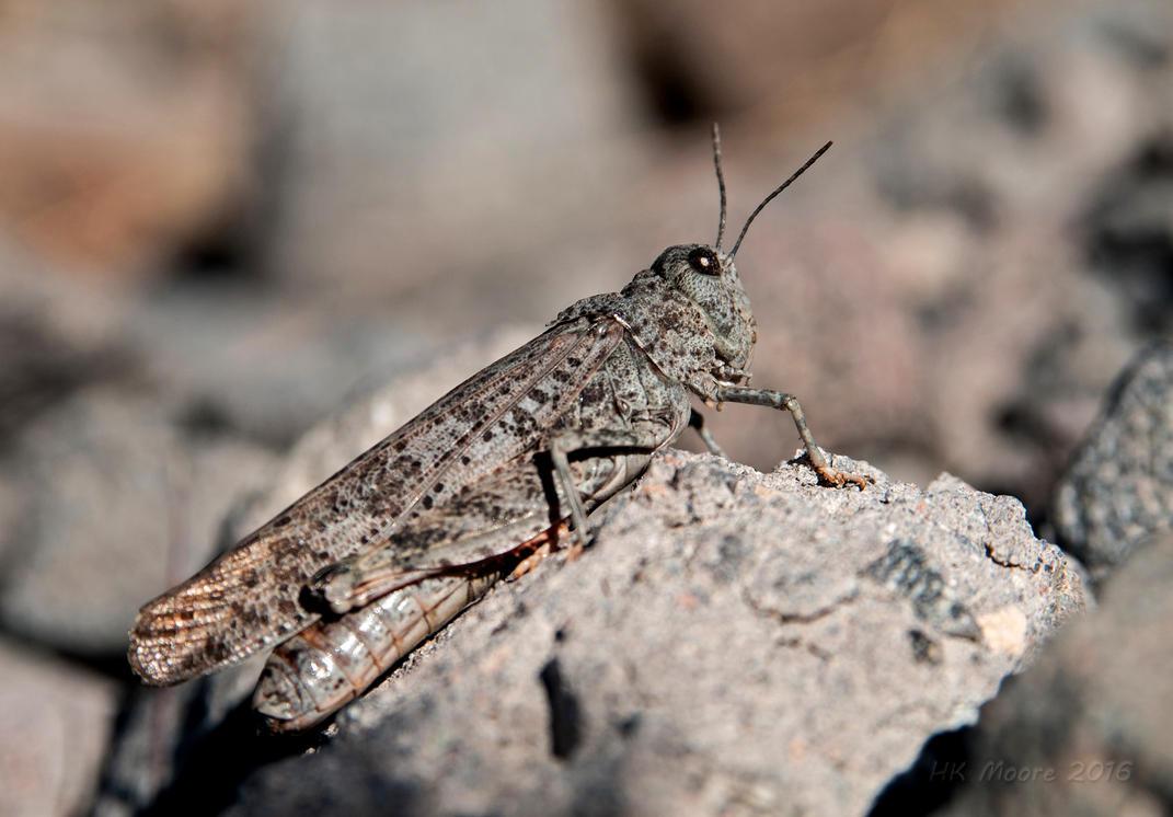 Gray Grasshopper by mistakeablyme