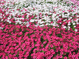 Petunias Perfect by SmilingY
