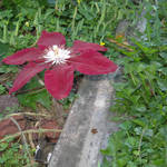 Clematis at the foundation of the dome