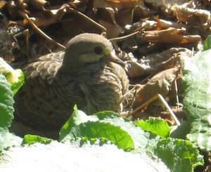 Hidden Dove
