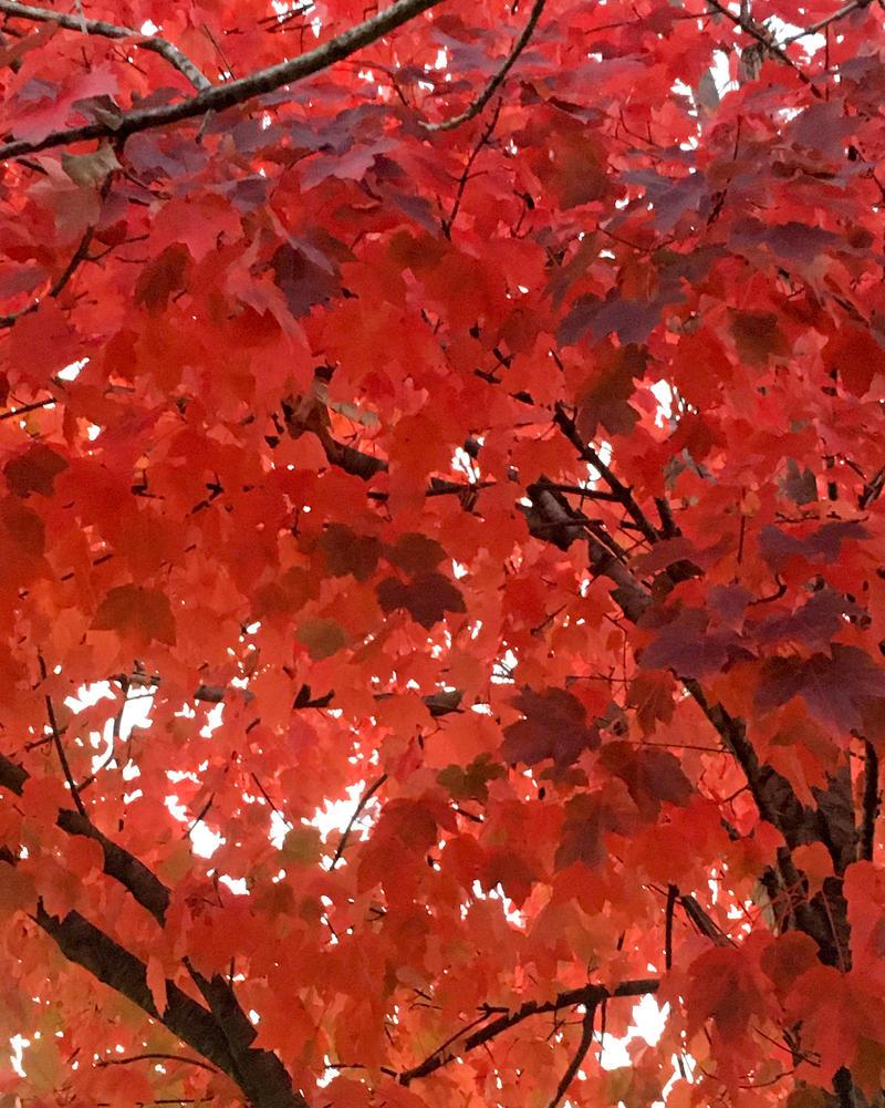 Maple Glory