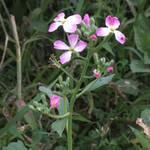 Radish Blossoms