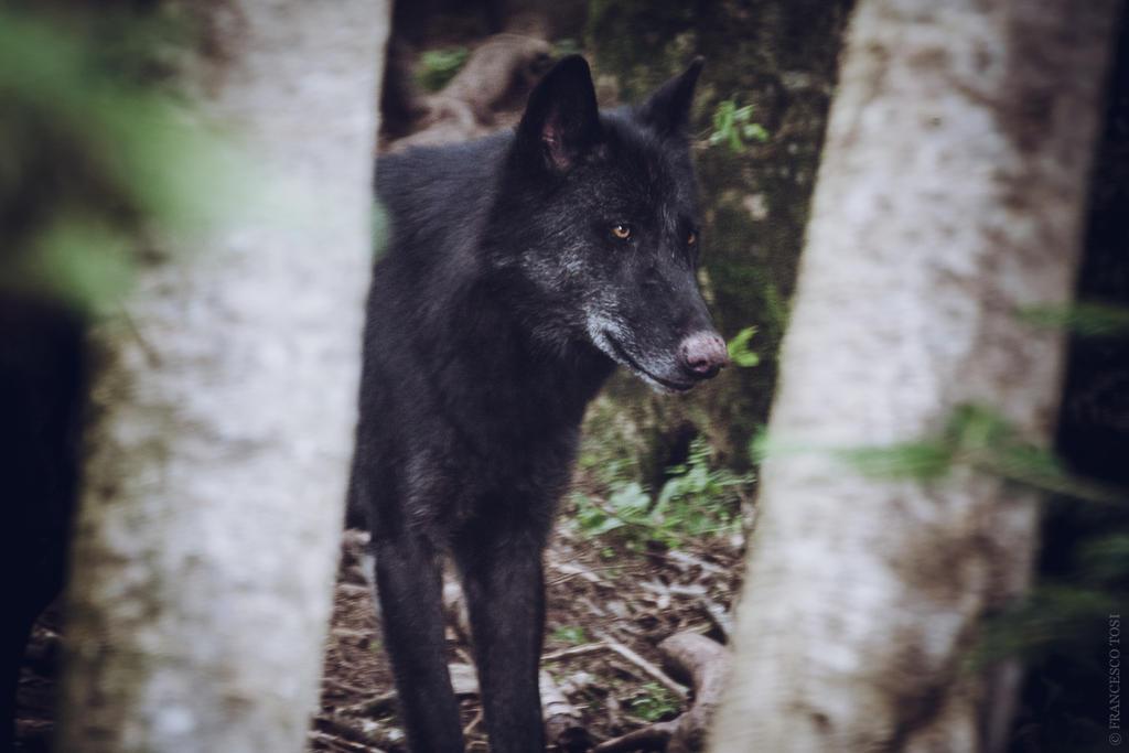 Black Wolf 1 by francescotosi