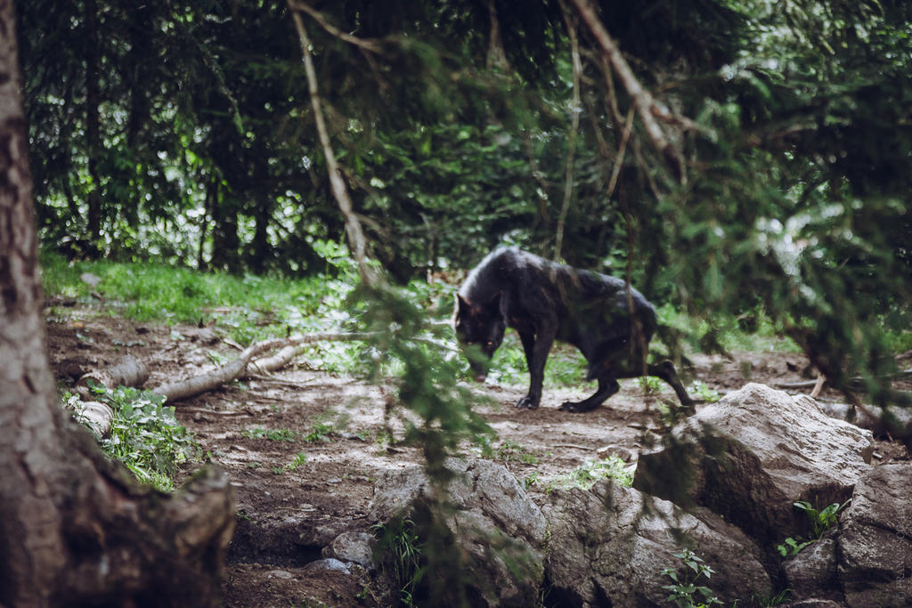 Black Wolf 4 by francescotosi