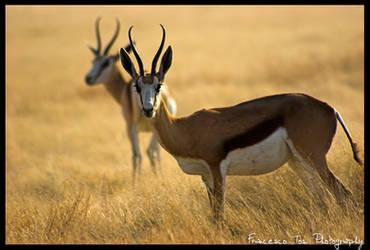 Namibia Wildlife 12 by francescotosi