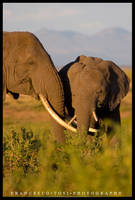 Kenya Wildlife 20 by francescotosi