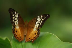 Schmetterling by szekley