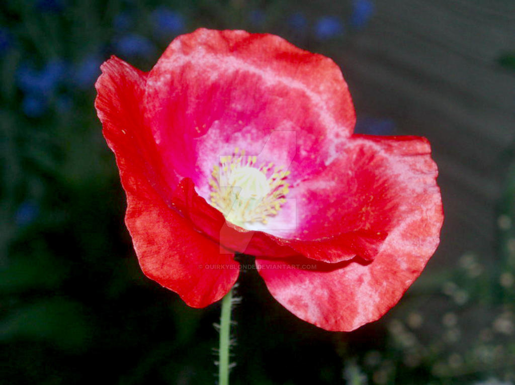 Red Poppy by quirkyblonde