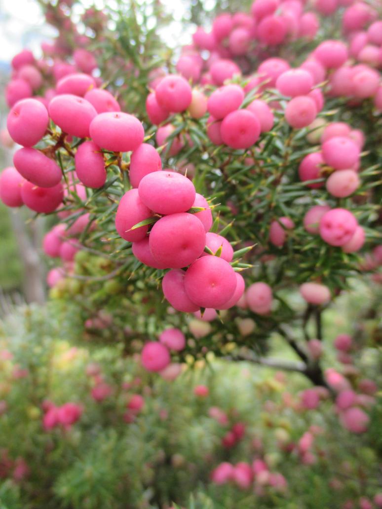 Pink Berries by hobbitalastair