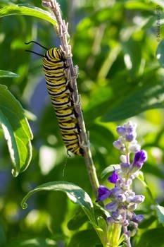 Caterpillar favors the Victoria Blue Salvia plant