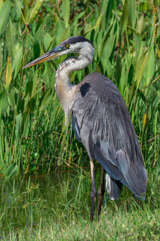 The Great Blue Heron-Strike a Pose
