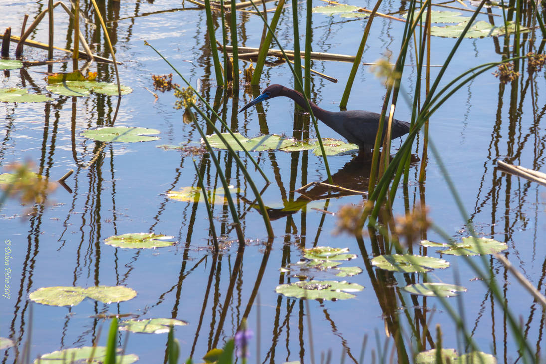 Little Blue Heron by PeaTree-Creations