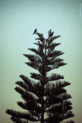Birds Atop a Pine Tree