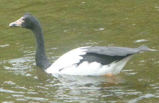 A magpie but a goose