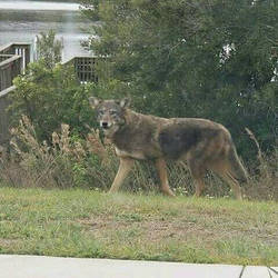 A Coyote that lives in my co-worker's neighborhood by StormStrick