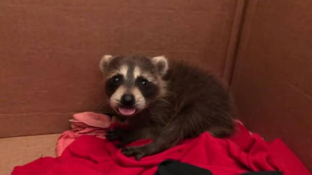 Very cute raccoon  by StormStrick