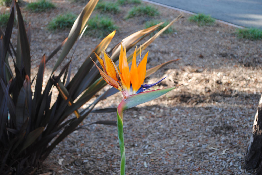 The Bird of Paradise: My Favorite Flower by Colonel-Knight-Rider