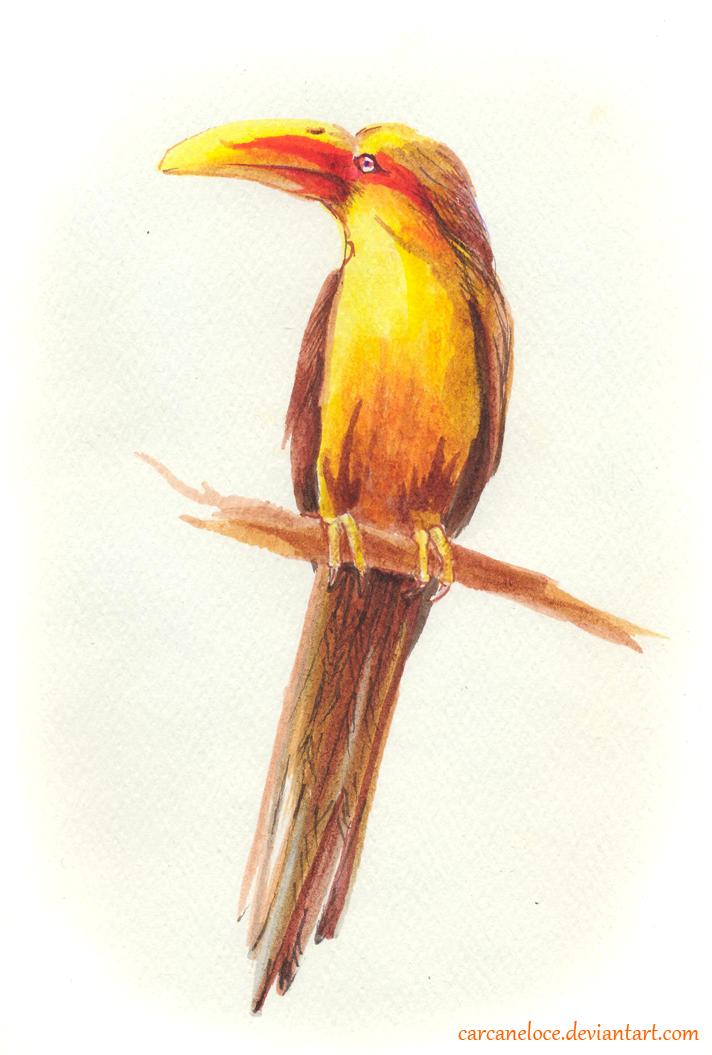 Saffron Toucanet by Carcaneloce