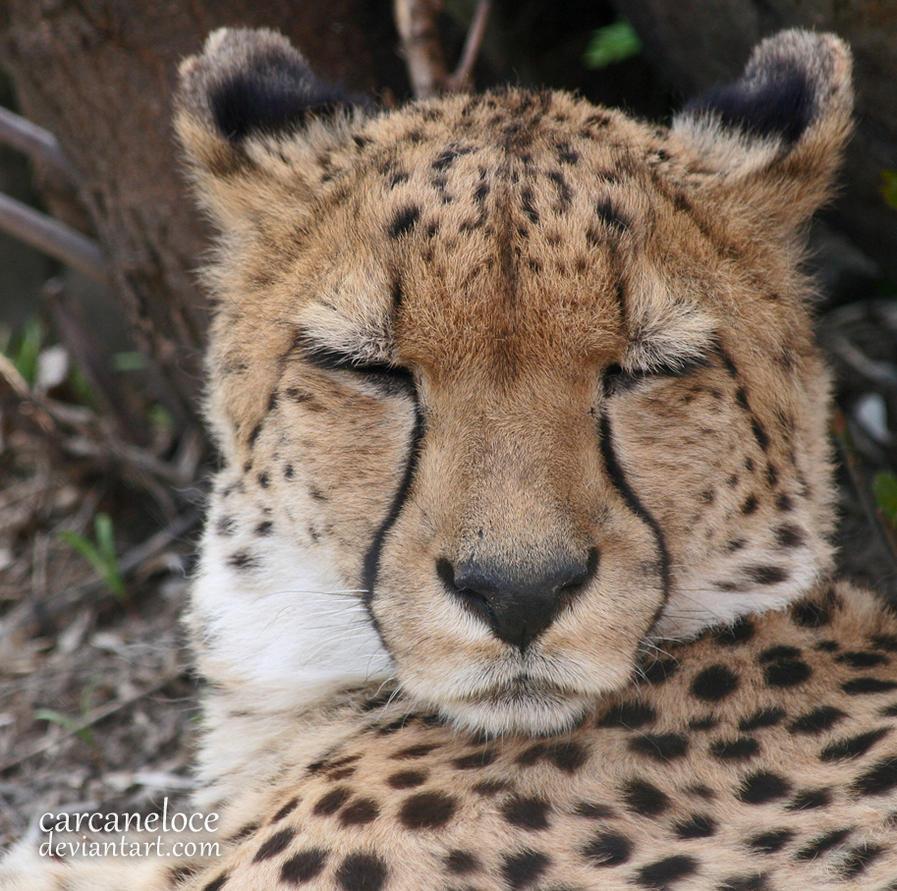 sleeping cheetah by carcaneloce on deviantart