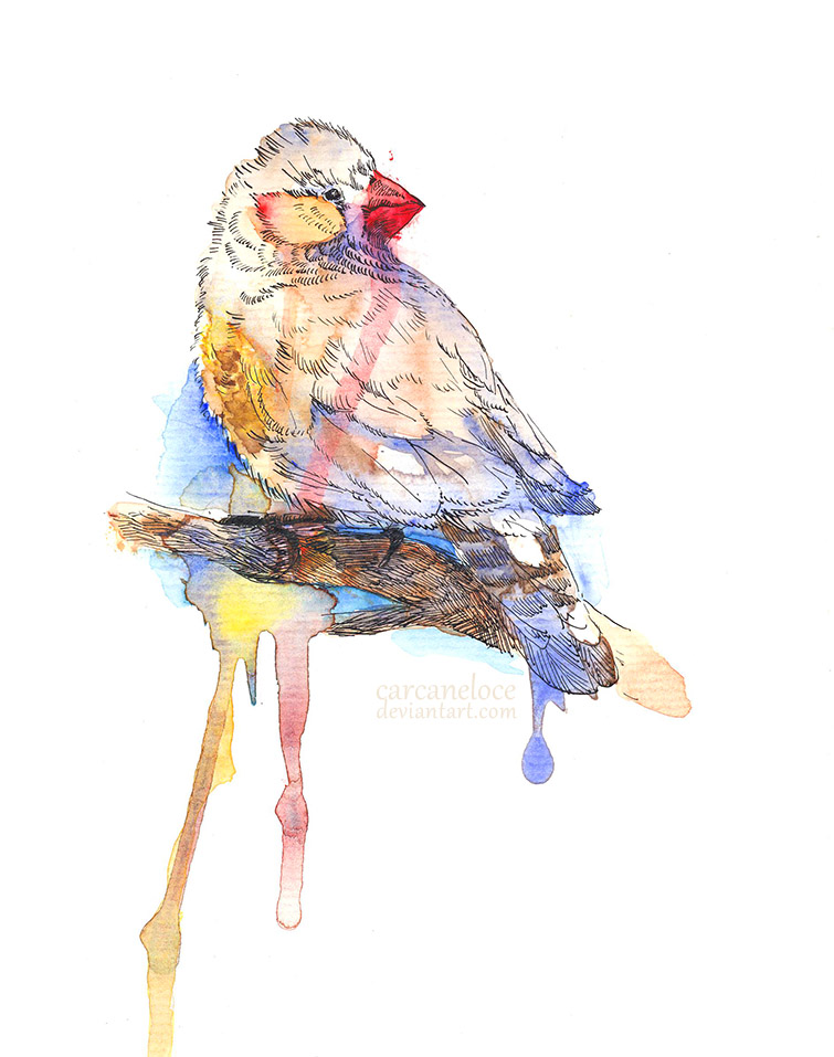 Zebra Finch (Sketch) by Carcaneloce