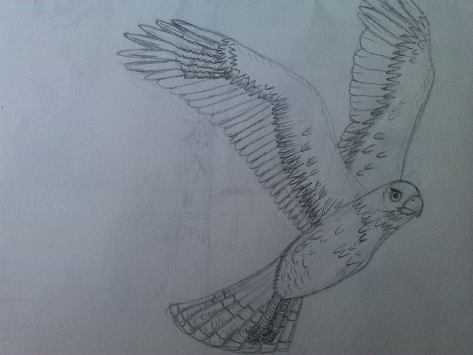 hawk_pencil_drawing_by_dragonmage156-das