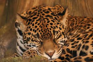 jaguar by mrs-munkyette