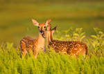 Whitetail Fawns by RichardBernabe