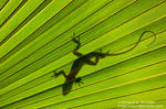 Green Anole and Palmetto