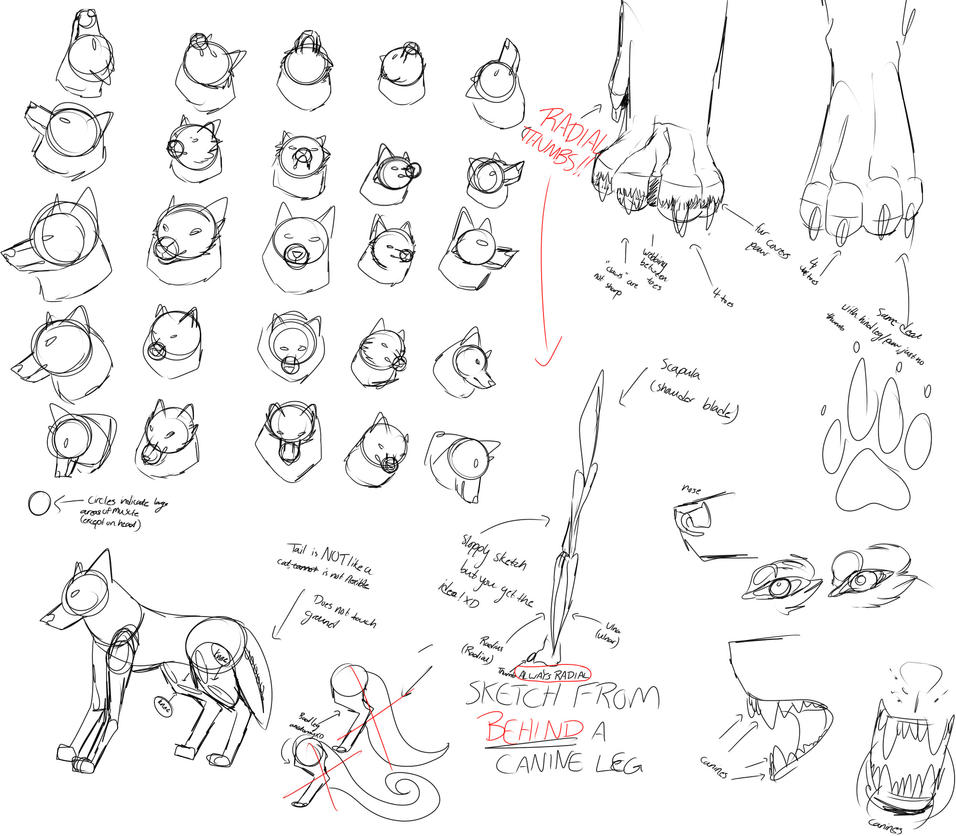 Wolf/Canine Angle and Anatomy Study1 by Wolphyre on DeviantArt