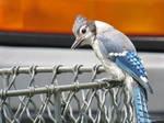 Blue Jay 01