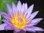 Purple Water Lily 01