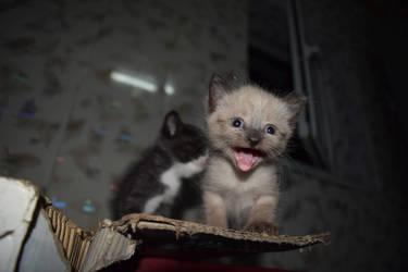 Kitten Siam by elixa-geg