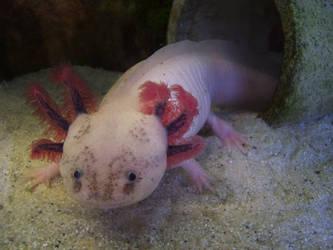 Leucistic Axolotl by McMuth