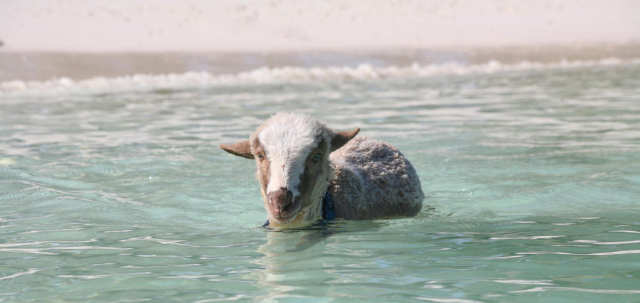 Eddie the swimming lamb by PatriciaVazquez