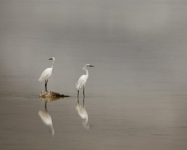 Egrets by PatriciaVazquez