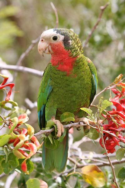 Bahamian Parrot Inagua by PatriciaVazquez