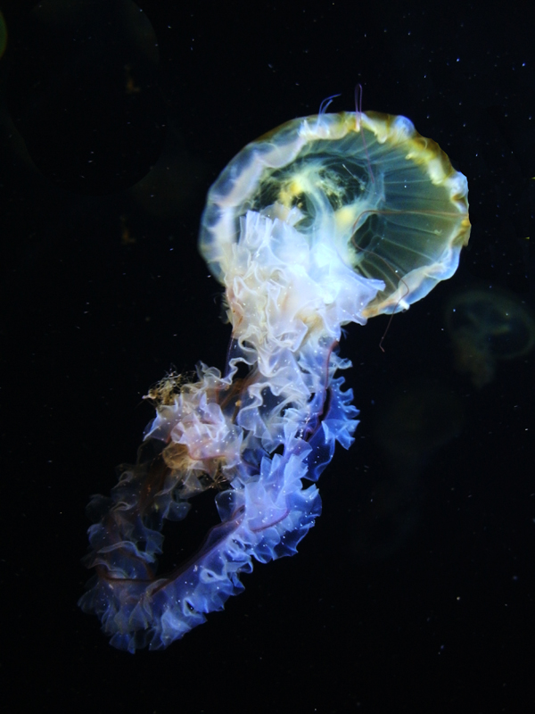 Jellyfish II by yourpersonaldoctor