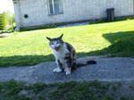 Domesticated Cat 8 by K1ku-Stock