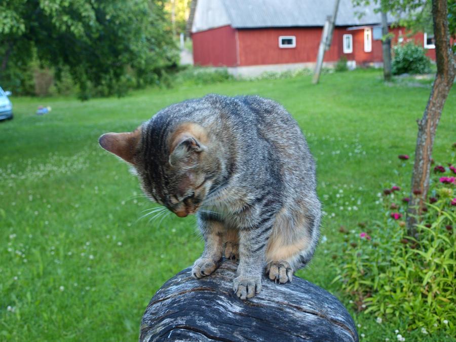 Tabby on a Stump 07 by K1ku-Stock