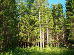 Forest Behind Granny's House 01 by K1ku-Stock