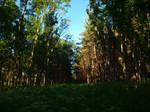 Pine Forest 1 by K1ku-Stock