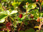 Wild Strawberries 1 by K1ku-Stock