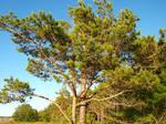 Pine Tree at Beach by K1ku-Stock
