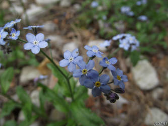 Forget-me-not by Ajsima