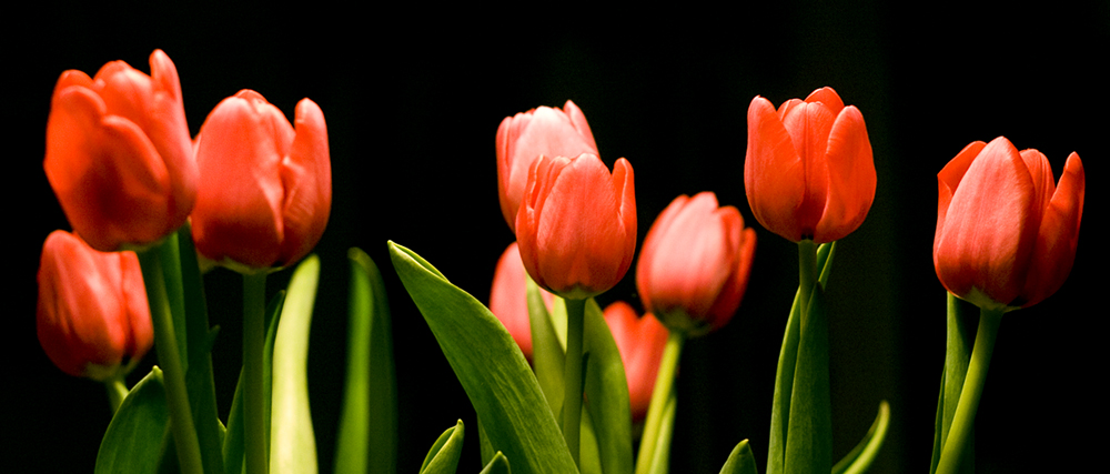 Tulips by Pigeonakacarro