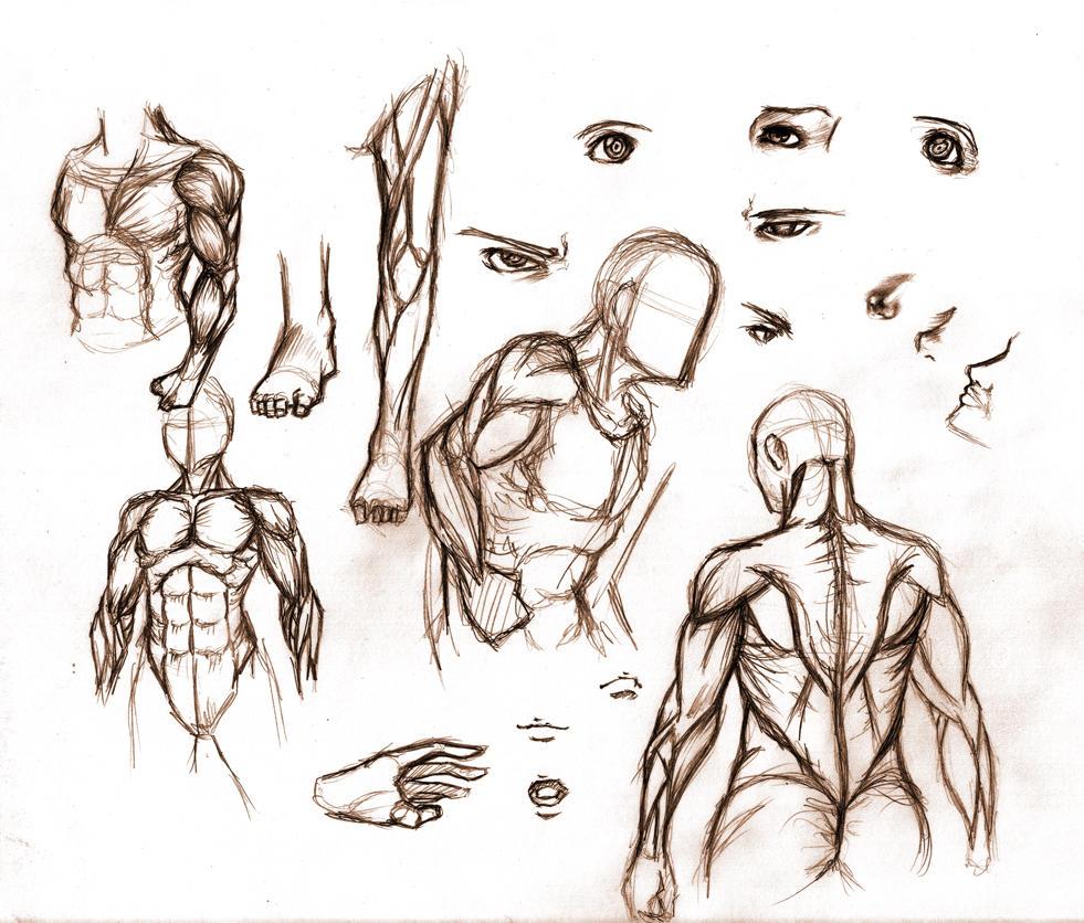 Anatomy art by R62 on DeviantArt
