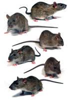 rats by Harpyen