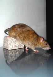Rat Reflection 1 by Harpyen