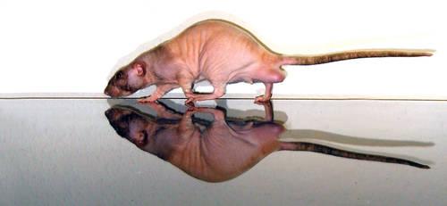 Rat Reflection 5 by Harpyen